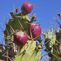 Prickly Pear Balsamic Vinegar