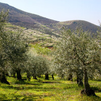 Spain Picual Olive Oil