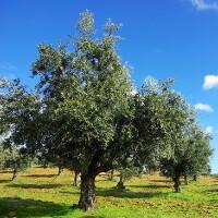 Koroneiki Olive Oil