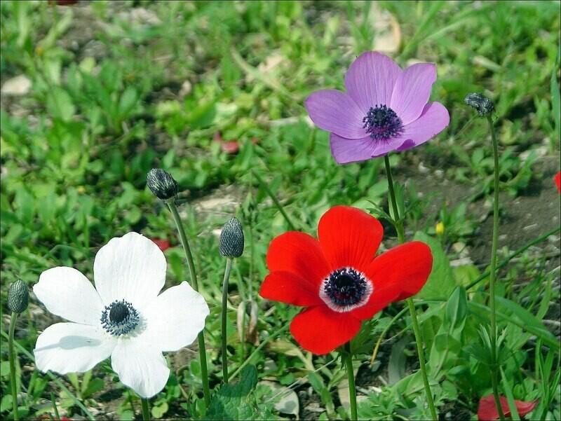 Anemone plant