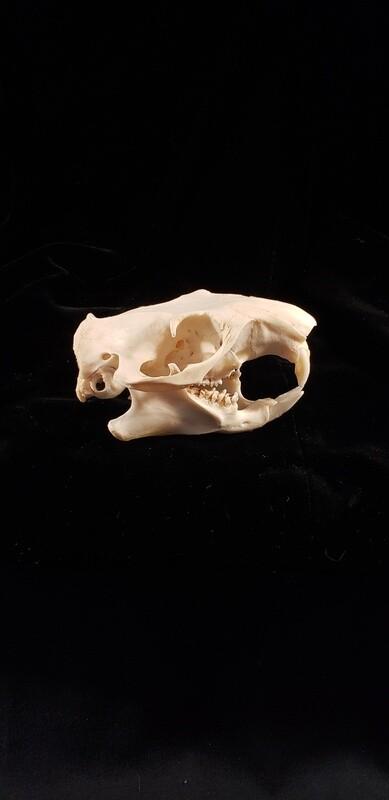 Groundhog Skull