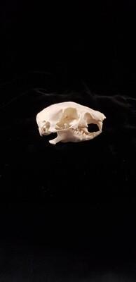 Gopher Skull