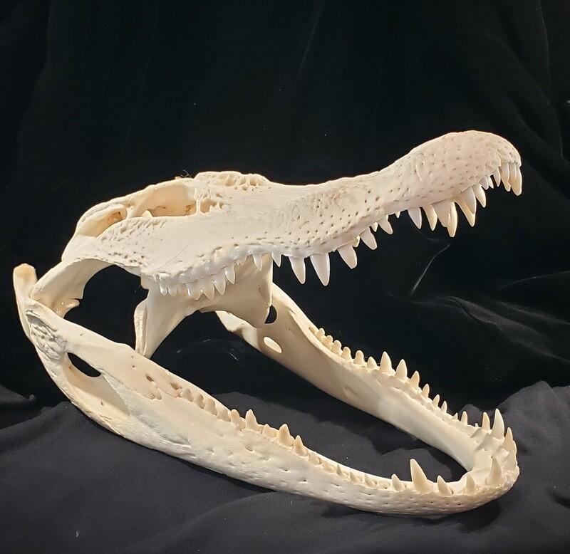 Alligator Medium 12-14
