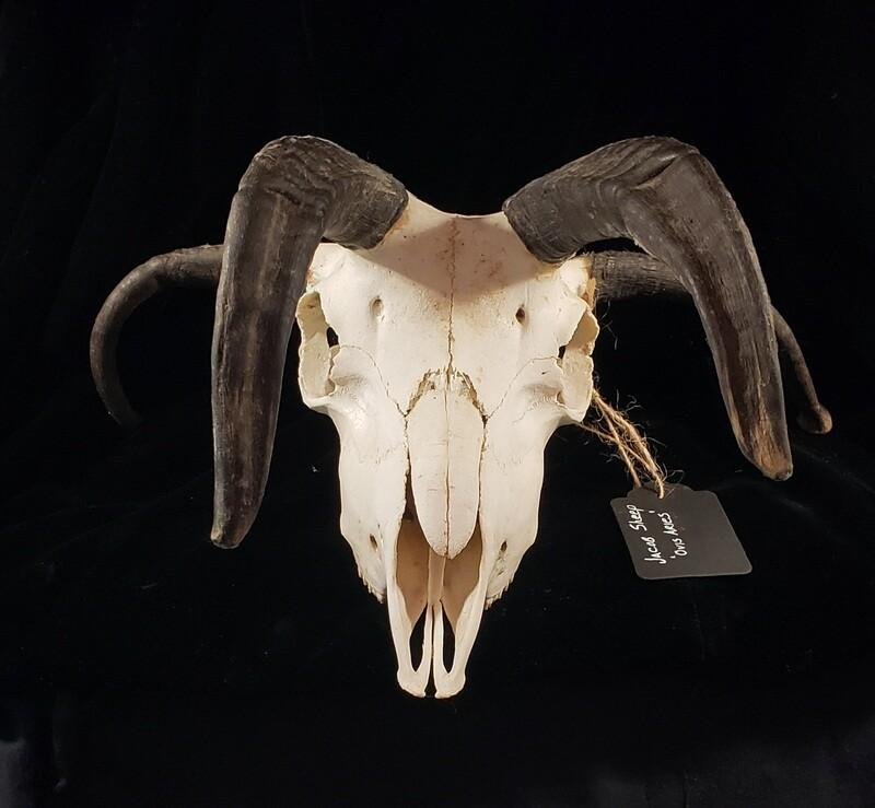 Jacob's Ram Skull