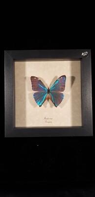 Blue Morpho Iridescent