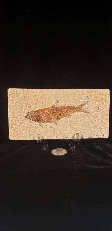 Fish Fossil Grade A
