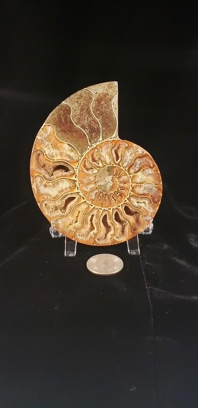 Ammonite 4 inch
