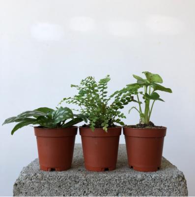 """2"""" Mini Tropical/Fern Trio - Shopkeeper's Choice"""