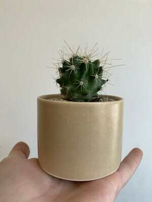 "Barrel Cactus in 2.5"" Niche Planter"