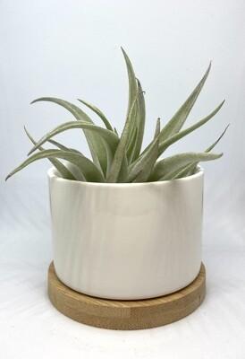 "White Ceramic Planter 2"" with Base Tray"