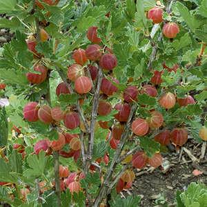 Gooseberry Hinnomaki