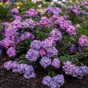 Hydrangea Bloomstruck #2 Bud & Bloom
