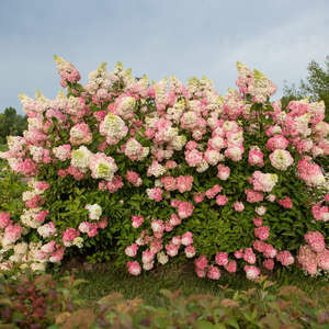 Hydrangea Berry White #5