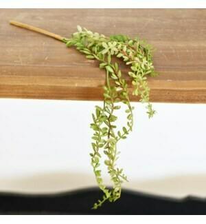 Hanging succulent stem