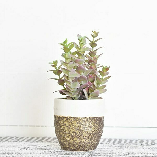 Pagoda plant in b/w pot