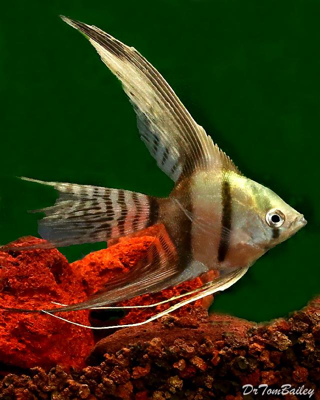 "Premium Half-Black Veiltail Angelfish, 2.5"" To 3"" Tall"