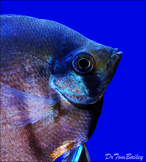 """Premium Black Lace Veiltail Angelfish, 2"""" To 2.5"""" Tall"""