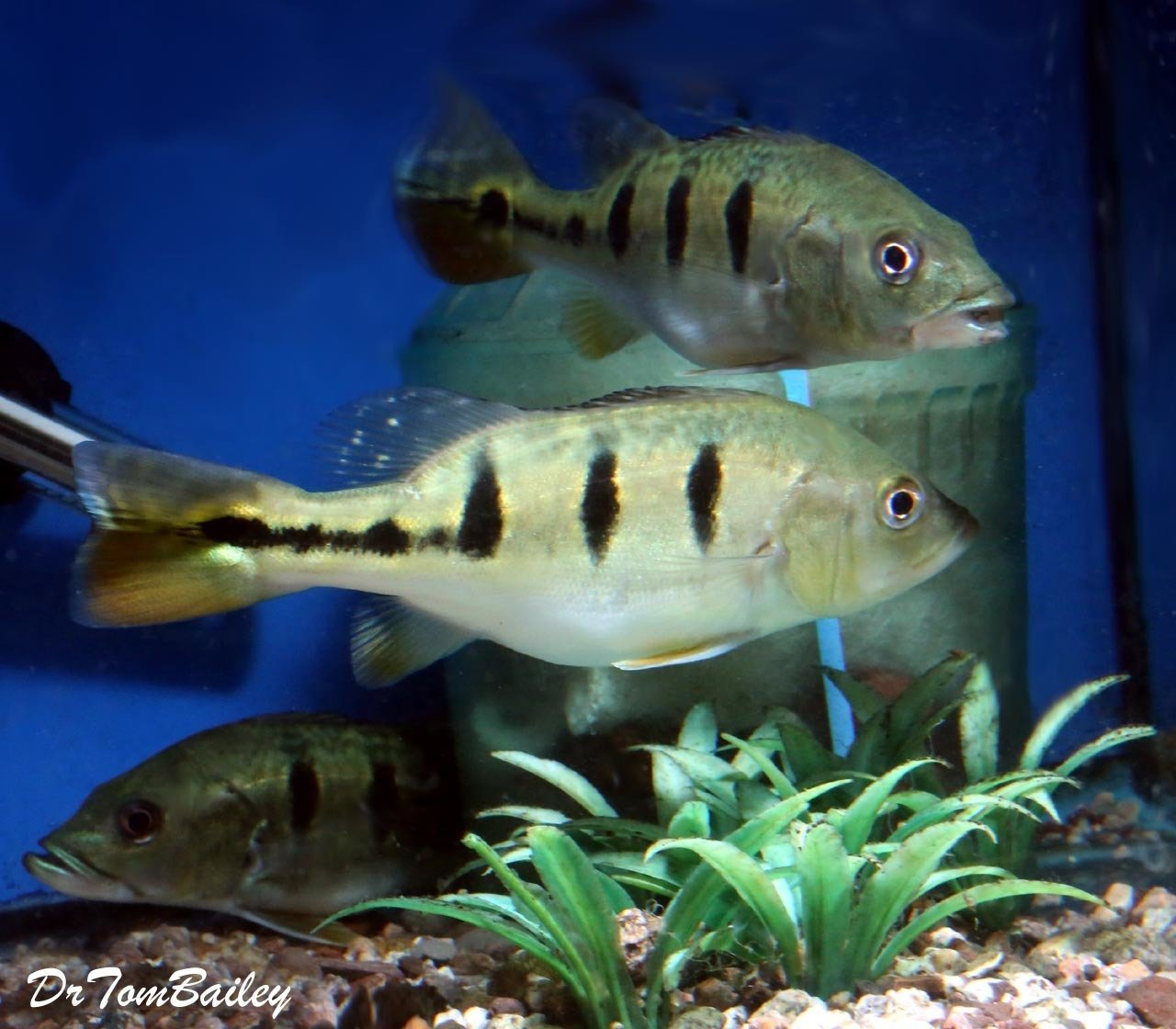 Click on the image to see more photos |Peacock Bass Aquarium