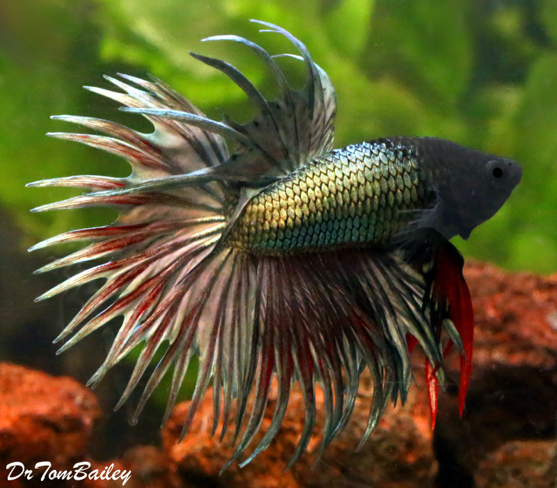 """Premium MALE Green Crowntail Betta Fish, Size: 2.5"""" to 3"""" - photo#26"""