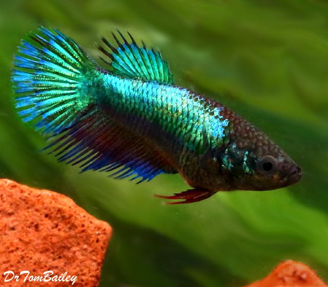 Premium FEMALE Turquoise Crowntail Betta Fish - photo#47