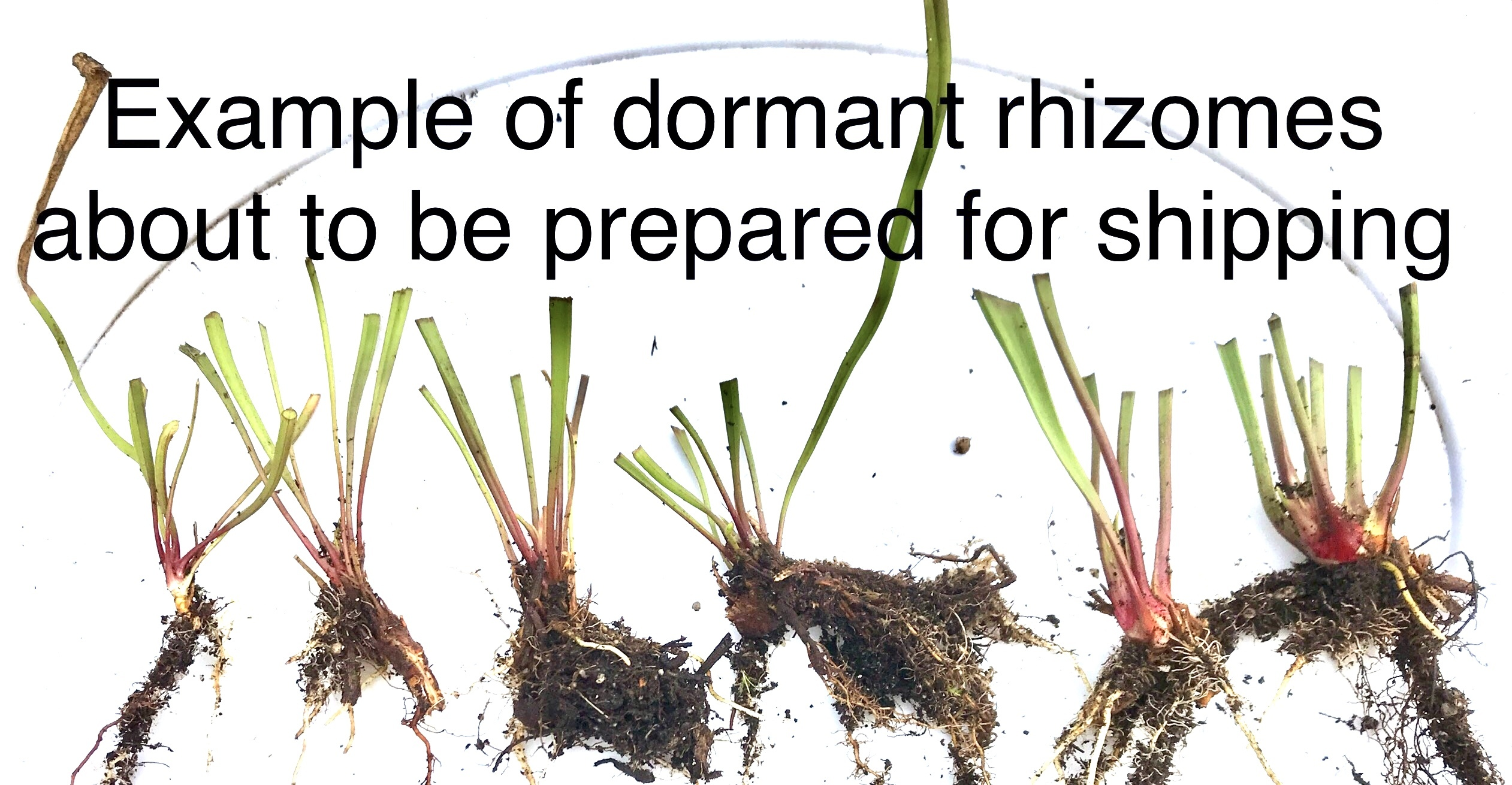 Various Sizes of rhizomes small/med/large