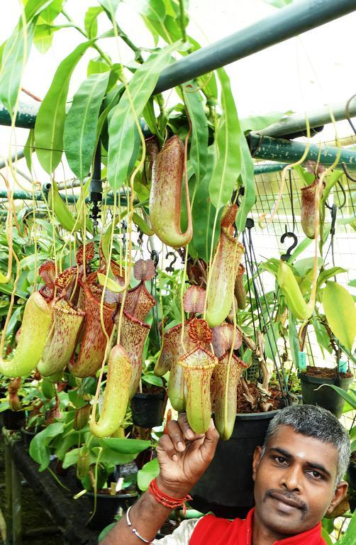 typical XXXLsize specimen plant