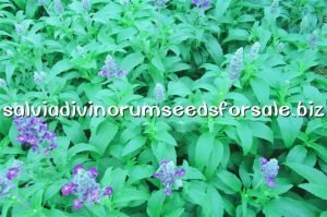 salvia divinorum seeds for sale