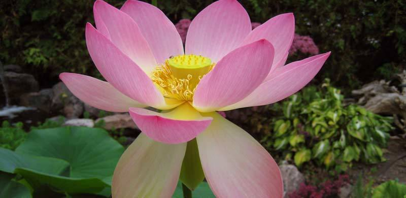 Carolina Queen Lotus Flower