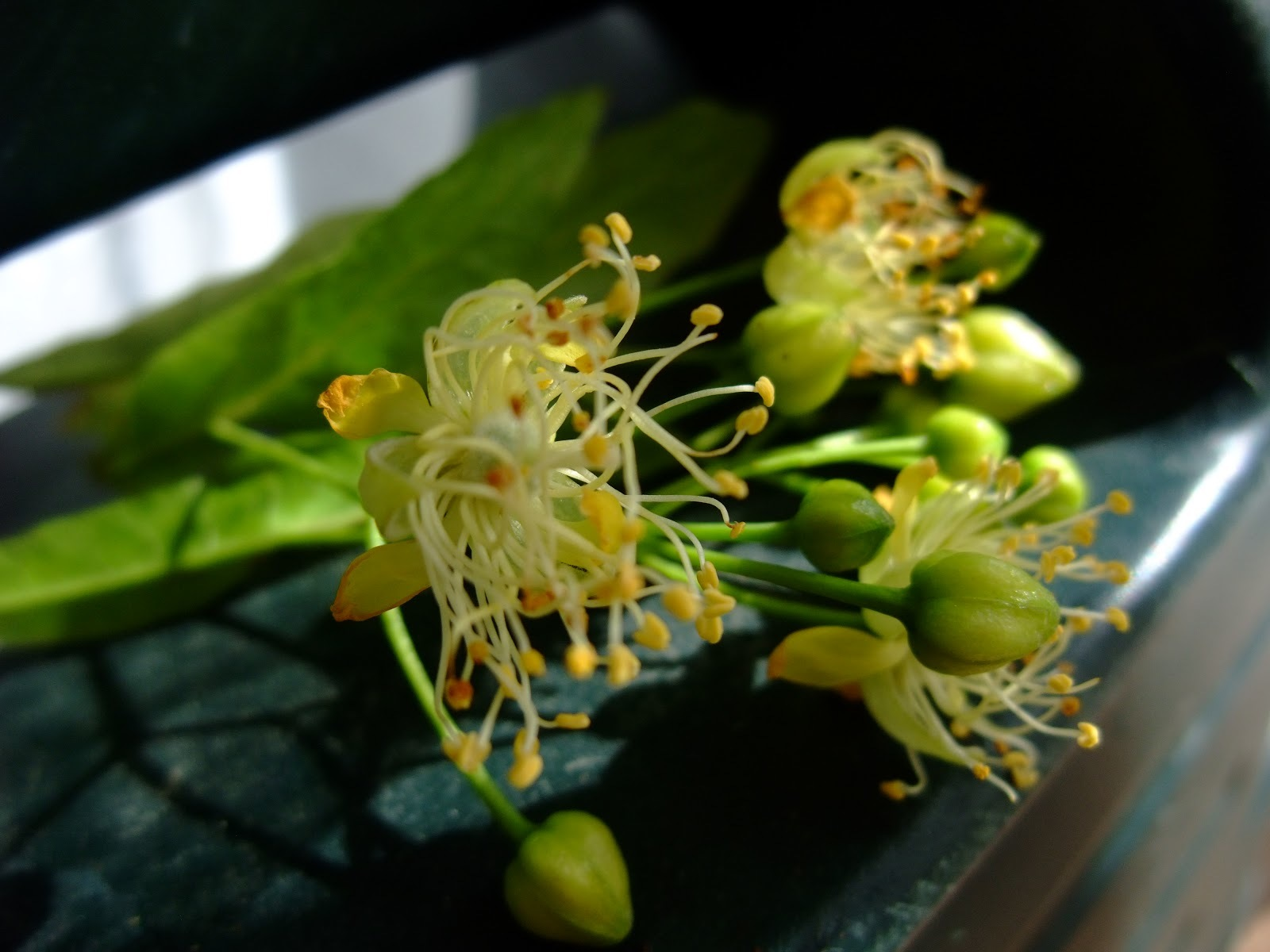 Linden Flowers by Herbal Photo Pic