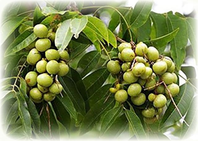Prakam Dee Kwai berrier (rerak tree)