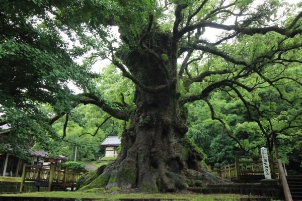 Giant Camphor Tree in Kyushu