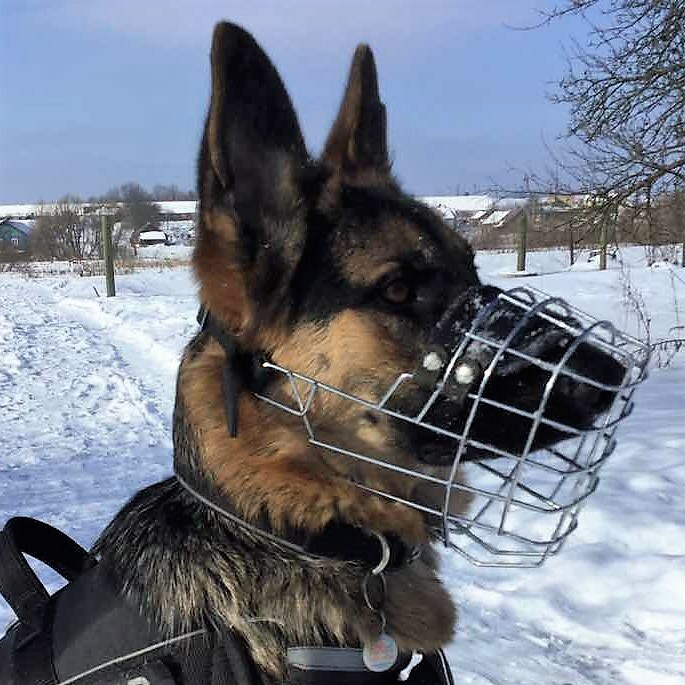 Deutscher Schäferhund Roy (Besitzer Anatoly Korovkin Lviv, Ukraine)