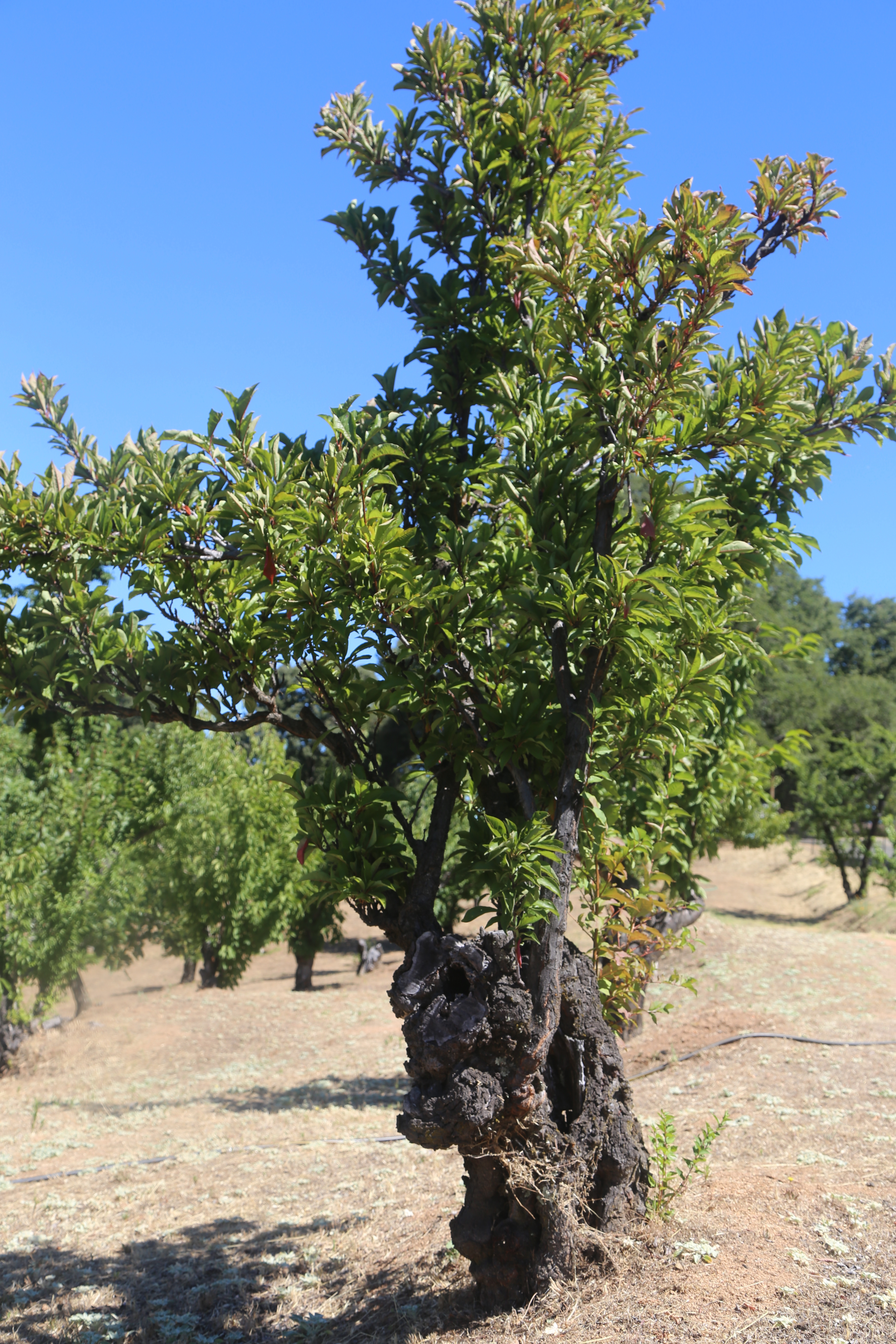 formosa plum tree