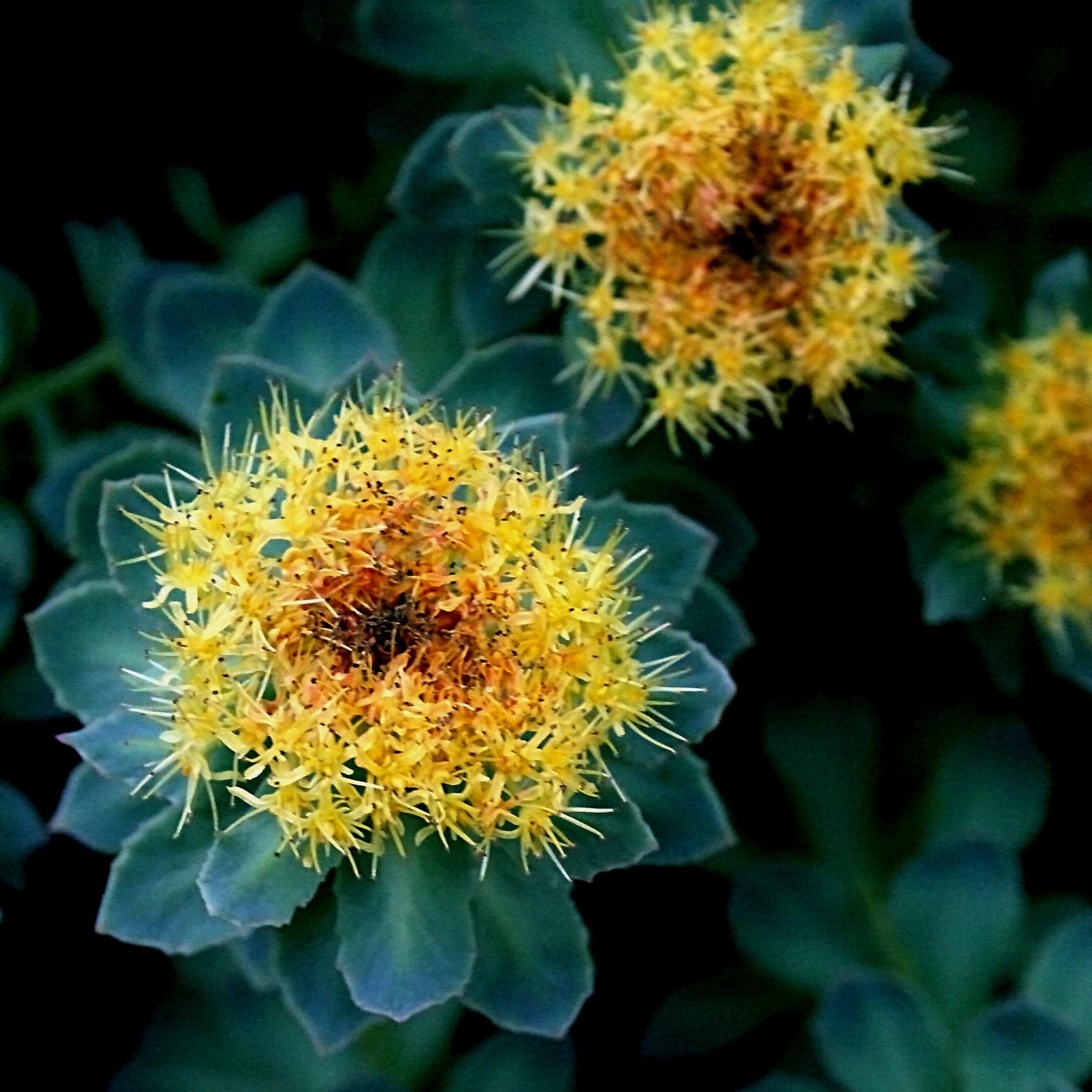 Rhodiola Rosea- Crystal Clear Supplements