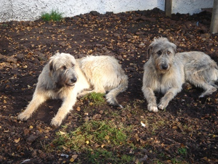 Irish Wolf Hounds
