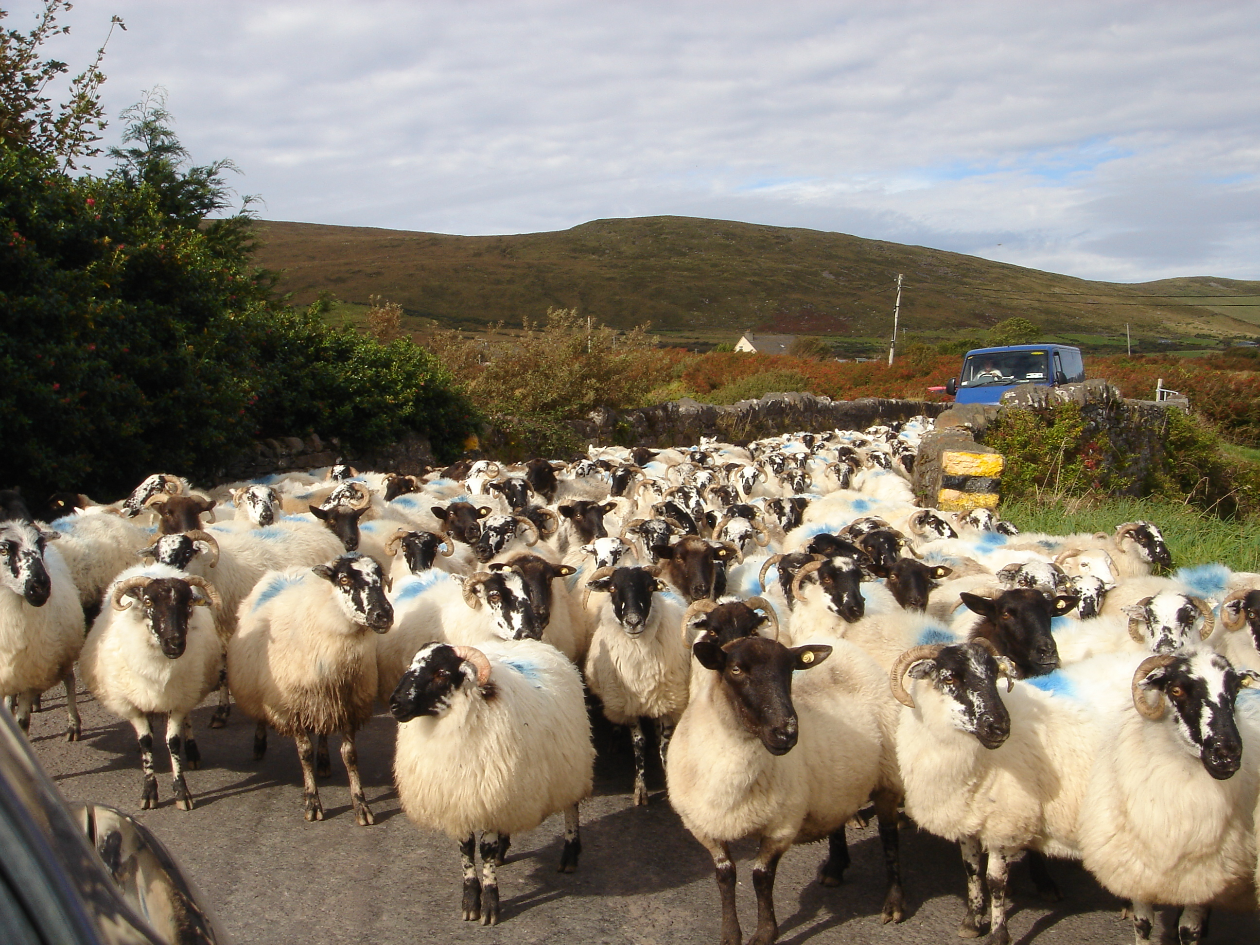Sheep on Tour in Ireland