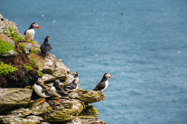 Wildlife on Skellig Michael