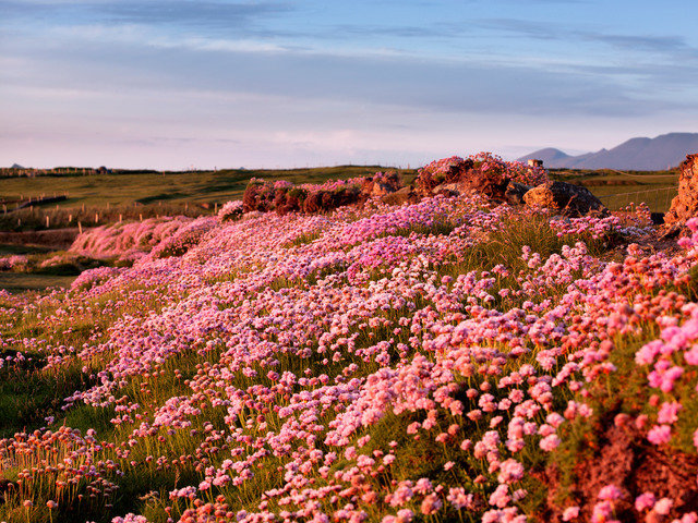 Mountain Heather, Dingle Peninsula. Ireland