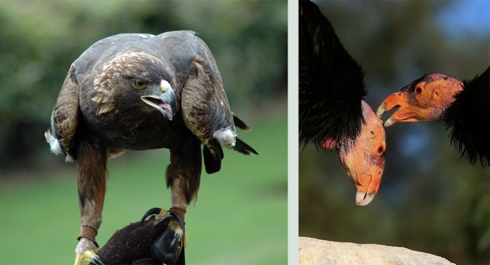 Lead-free initiative made law to help protect golden eagles (left) and condors