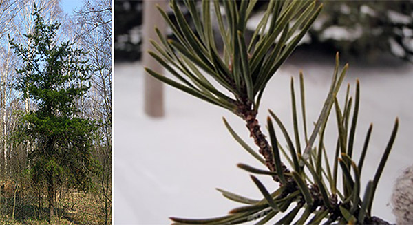 Jack pine (full grown, left) and close-up of needles; photo Wikipedia Commons