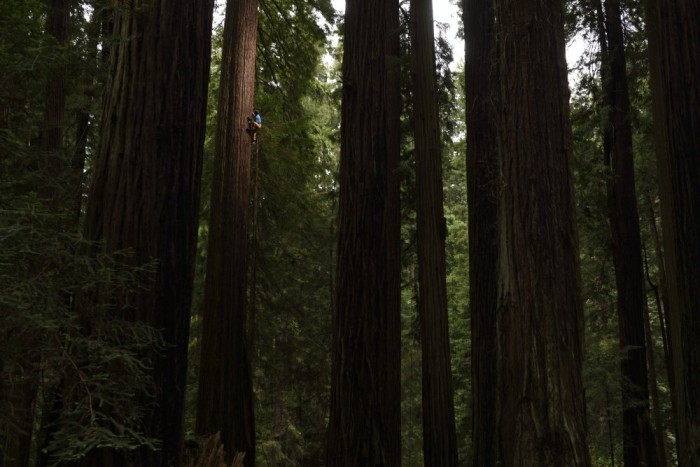 climbing a redwood tree