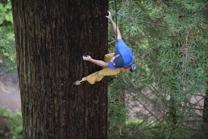 sharma climbs redwood