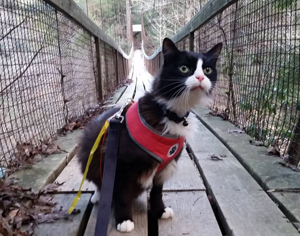 tuxie hiker cat