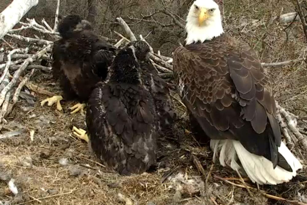 Eagle Cam 1