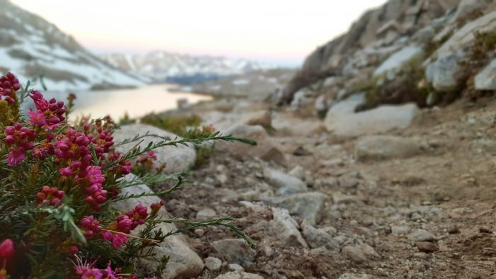 flower in the sierra nevadas