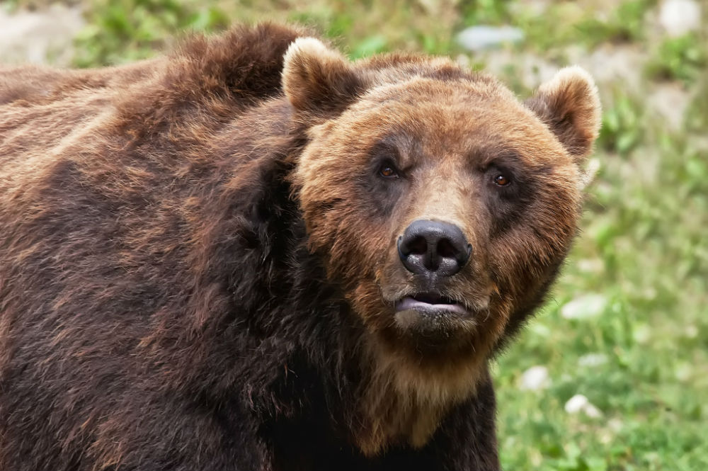 Canadian province of British Columbia bans grizzly hunting