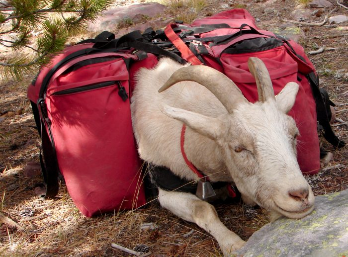 pack goat resting