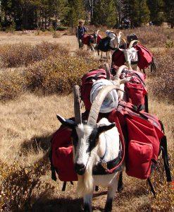 pack goats 3
