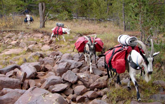 pack goats carry gear