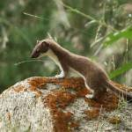 The weasel-like stoat is one of the primary targets of invasive species trapping in New Zealand